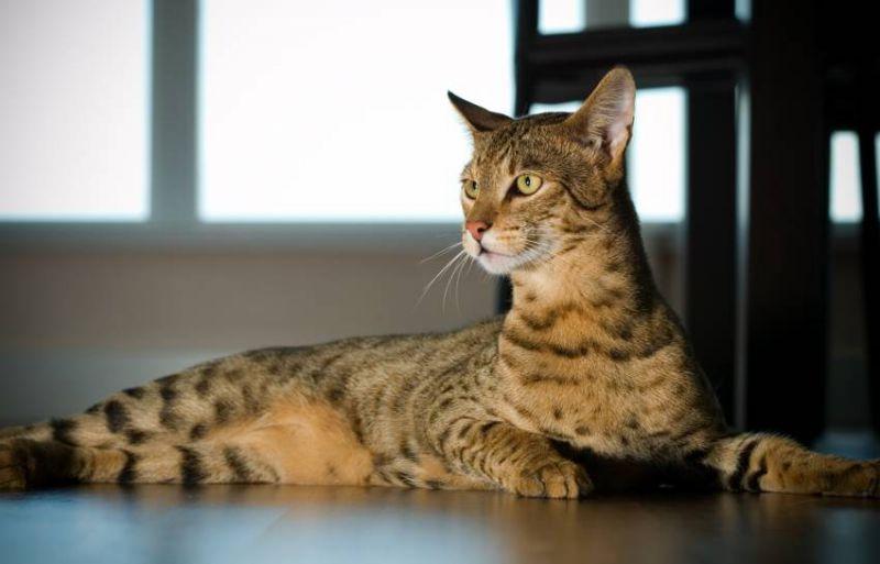 les-5-races-de-chat-les-plus-cheres