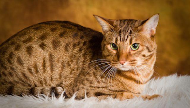 les-5-races-de-chat-les-plus-fascinantes