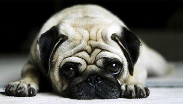 chihuahua les 5 chiens d appartement les plus appr ci s. Black Bedroom Furniture Sets. Home Design Ideas