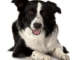 http://www.topcinq.fr/media/Maggio_2016/Border-Collie.jpeg